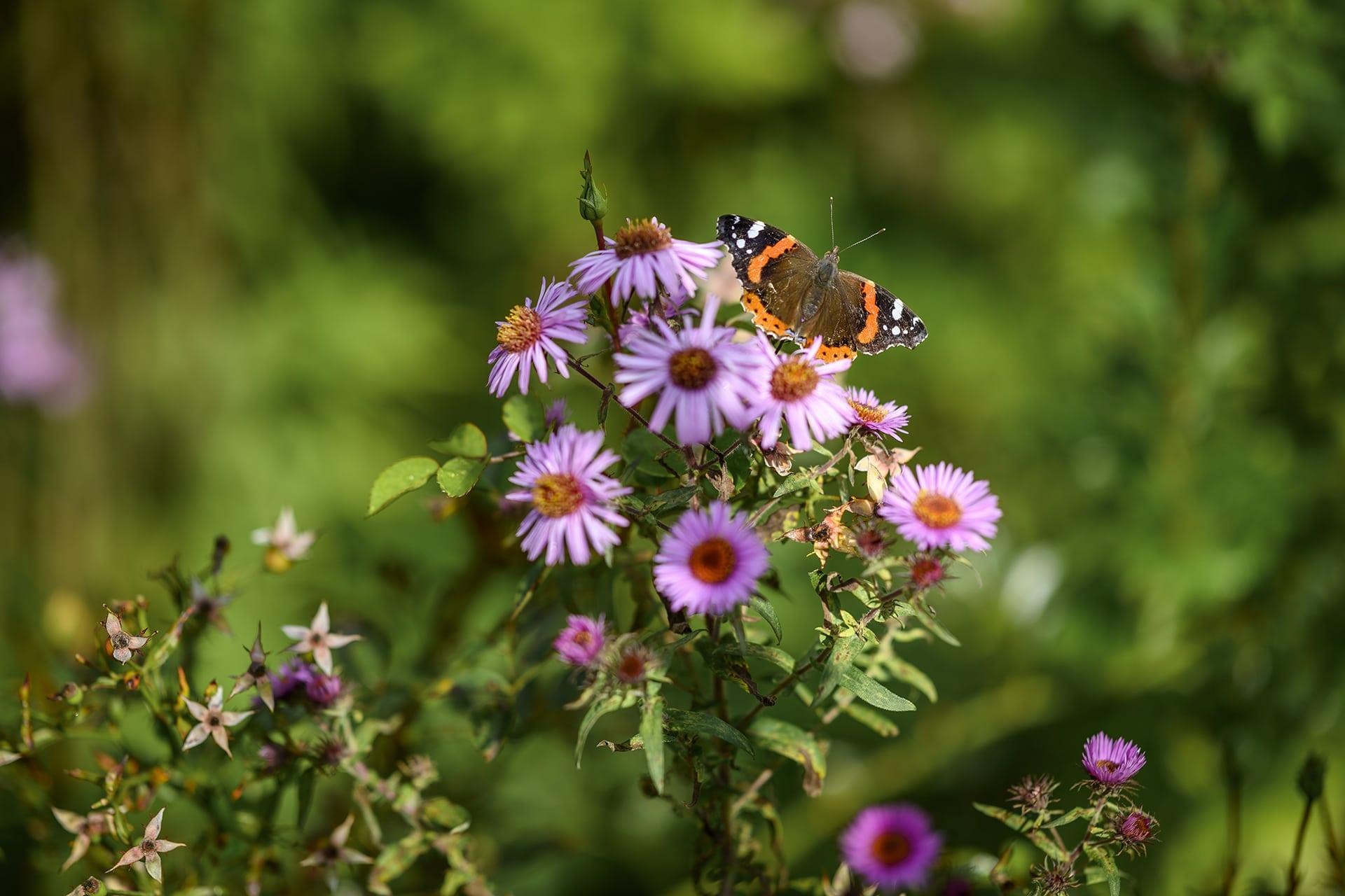 Schmetterling im naturnahen Garten