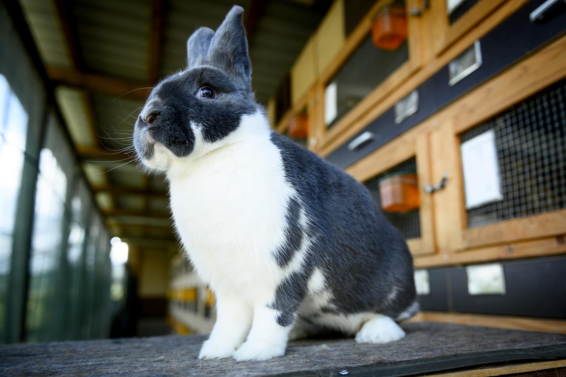 Preisgekröntes Kaninchen