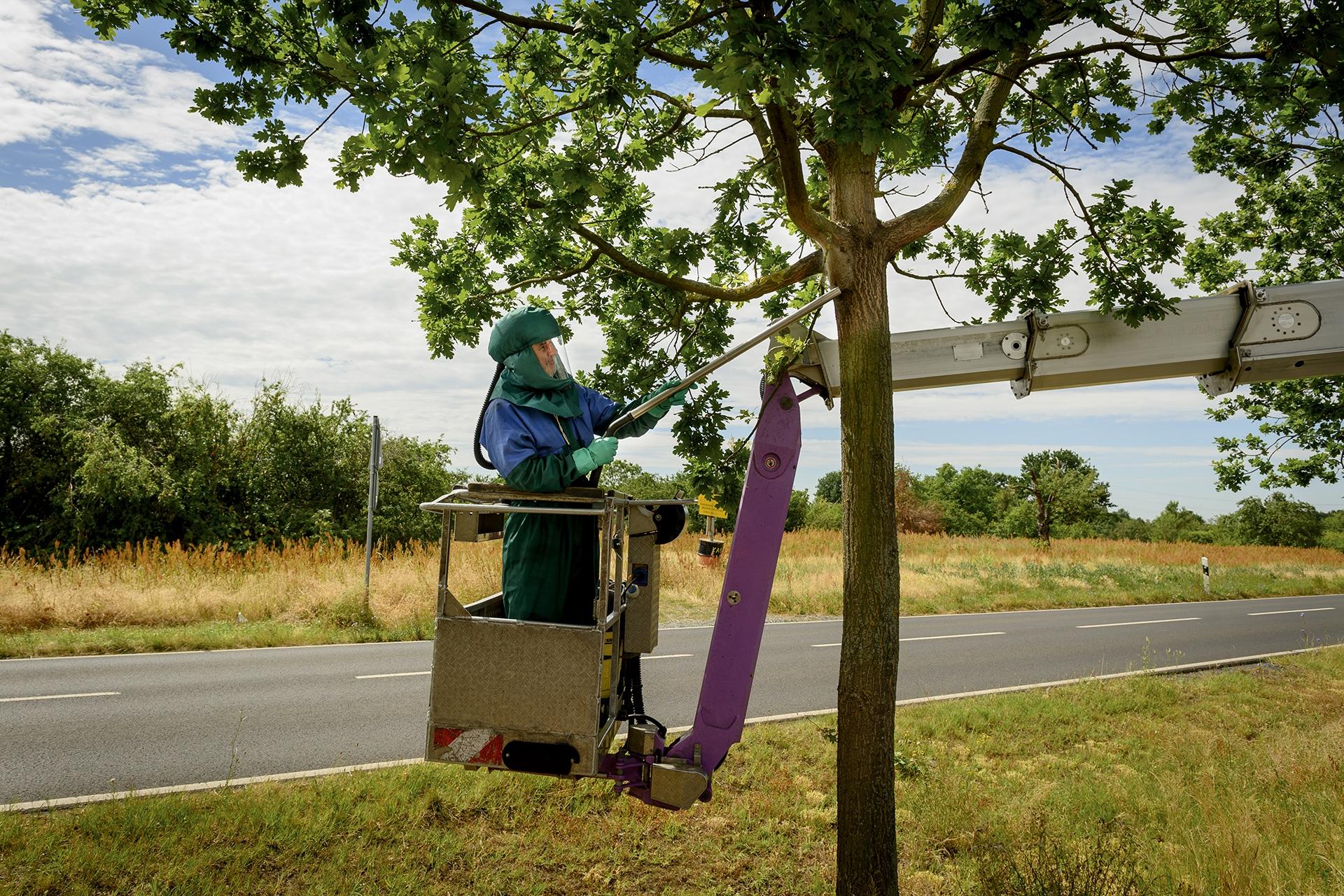 Absaugen des Eichenprozessionsspinners durch Leitsch Baumpflege