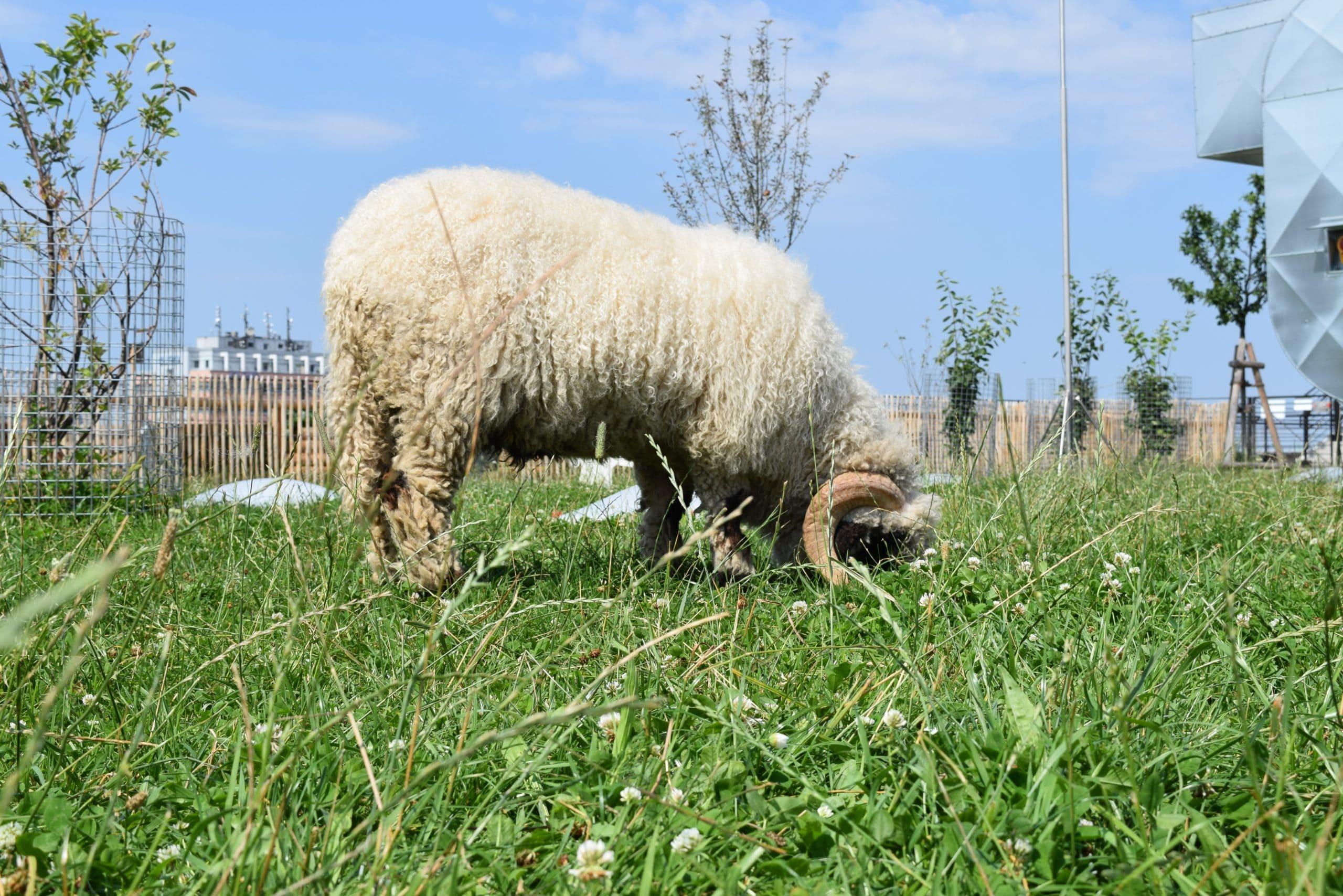 Schaf bei Pfanni