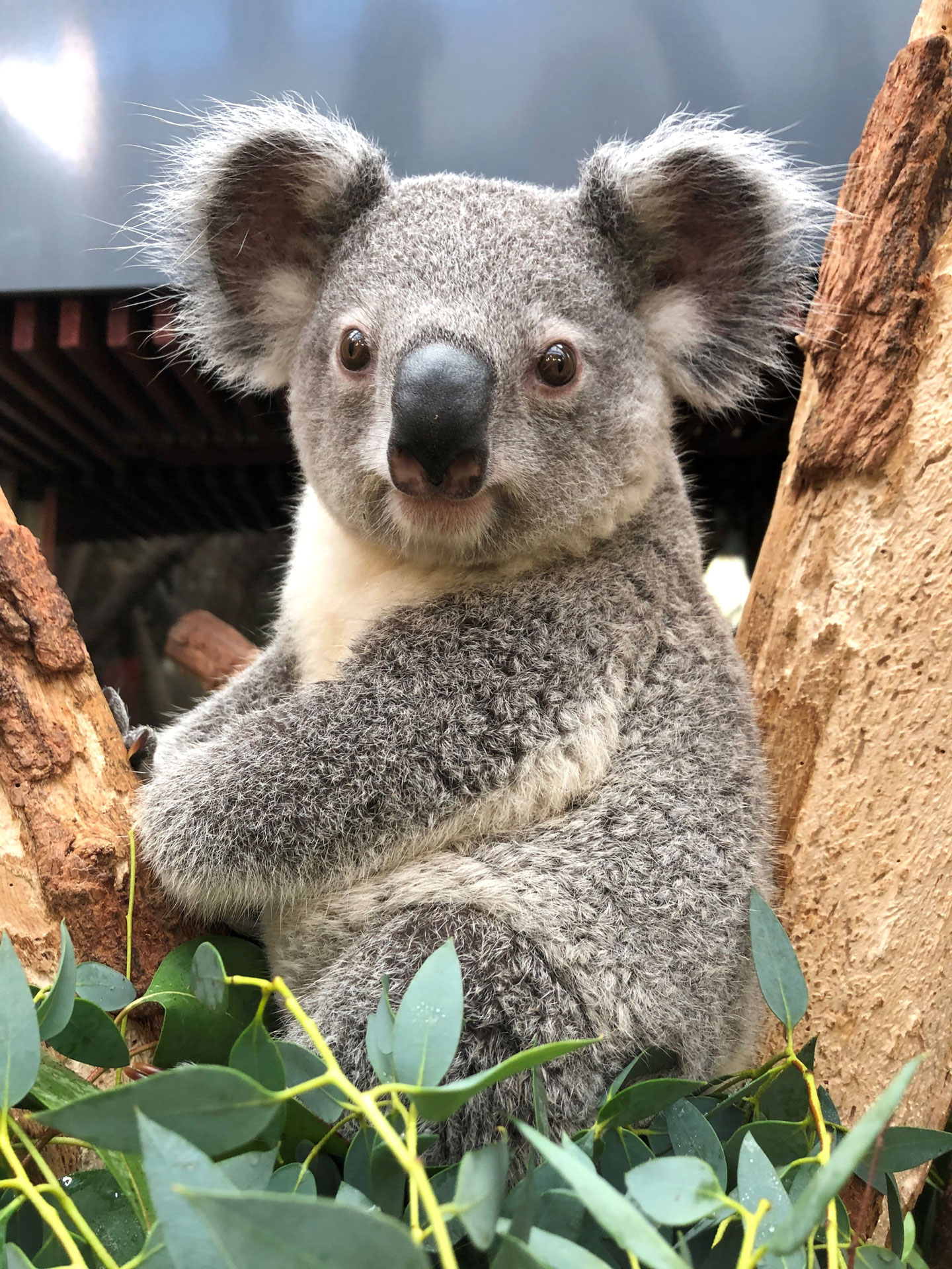 Koala Bouddie im Eukalyptus